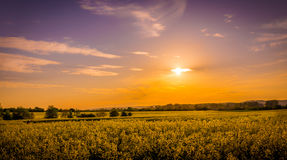 Field of yellow Royalty Free Stock Image