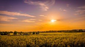 Field of yellow rape Royalty Free Stock Image