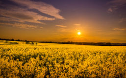 Field of yellow Stock Photography