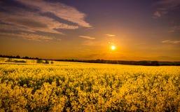Field of yellow rape Stock Photography