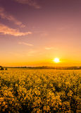 Field of yellow rape Royalty Free Stock Images