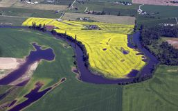 Field of yellow rapeseed. Aerial view of afield of yellow rapeseed Royalty Free Stock Image