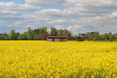 Field of Yellow Rapeseed Royalty Free Stock Image