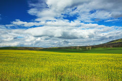 Field of yellow rapeseed against the blue, cloudy sky Royalty Free Stock Images