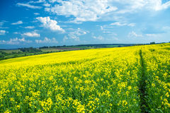 Field of yellow rapeseed against the blue sky Stock Photos