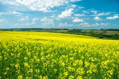 Field of yellow rapeseed against the blue sky Stock Images