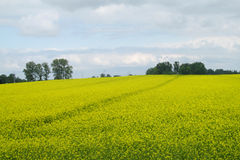 Field of yellow rapeseed agriculture Royalty Free Stock Image