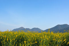 Field of yellow rapeseed and the blue sky Royalty Free Stock Images
