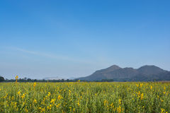 Field of yellow rapeseed and the blue sky Royalty Free Stock Photography