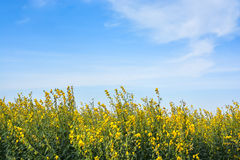 Field of yellow rapeseed and the blue sky Royalty Free Stock Photos