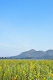 Field of yellow rapeseed and the blue sky Stock Photography