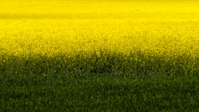 Field of yellow rapeseed (Brassica napus) flowers. And green crops Royalty Free Stock Photography