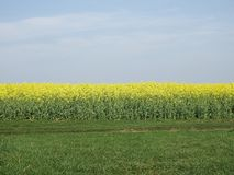 Field, Yellow, Rapeseed, Canola stock image