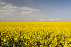 Field of yellow rapeseed flowers Royalty Free Stock Photos