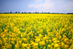 A field of yellow rapeseed flowers Stock Photo