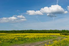 Field of yellow rapeseed flowers forest background and a blue sky with cloud Royalty Free Stock Images