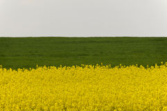 Field of yellow rapeseed flowers and green crop Stock Photo