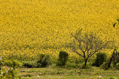 Field of yellow rapeseed flowers. On a hillside with some small plants and a tree on the field border Royalty Free Stock Photo