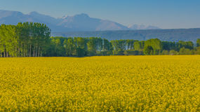 A field of yellow rapeseed flowers illuminated by the sun Royalty Free Stock Photo