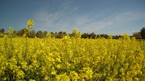 A field of yellow rapeseed flowers panorama, olive trees in the distance, insects fly, a bright sunny day in the deep winter in Cy. Ancient Olive Trees, a stock footage