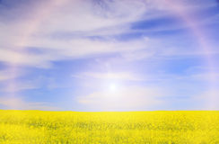 Field with yellow rapeseed flowers royalty free stock image