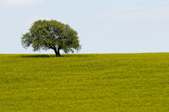 Field of yellow rapeseed flowers and single tree Stock Photography