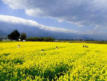 A field of yellow rapeseed flowers Stock Image