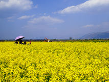 A field of yellow rapeseed flowers Stock Images