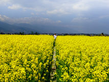 A field of yellow rapeseed flowers Stock Photography