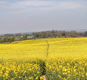 Field of Yellow Rapeseed with hamlet behind Stock Photos