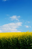 Field of yellow rapeseed oil. Field of bright yellow rapeseed in flower under a blue sky Stock Photos