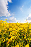 Field of yellow rapeseed oil. Field of bright yellow rapeseed in flower under a blue sky Royalty Free Stock Images