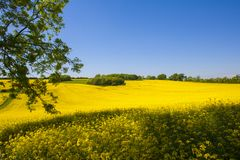 Rapeseed field,West Sussex, England. Field of yellow rapeseed ,overhanging tree and blue sky West Sussex ,England stock images