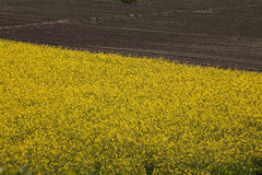 Field of yellow rapeseed plants with empty field in background. Field of yellow flowering rapeseed plants with recently ploughed brown field in background Stock Photo