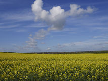 Field of yellow rapeseed blue sky white cloud Stock Photography