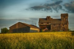 Field of yellow rapeseed and wooden barn stock photography