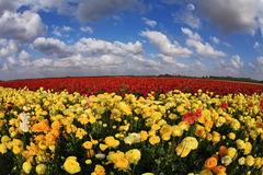 The field of yellow and red buttercups Stock Photography