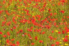 Field of yellow and red poppy flowers Stock Photography