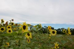 Field of yellow and red sunflowers 2 underneath a cloudy sky in early fall. Green field, blue sky in distance, near the town border of Groton ad LItleton royalty free stock image