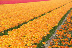 Field of yellow and red tulips Royalty Free Stock Image