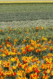 Field of yellow and red tulips Stock Image