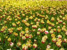 A field of yellow and red tulips blooming Royalty Free Stock Photography