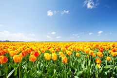 Field with yellow and red tulips in Holland Royalty Free Stock Photos