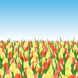 Field of yellow and red tulips. On the infinite horizon Royalty Free Stock Photos