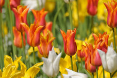 field of yellow and red tulips Stock Photos