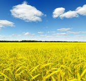 Yellow rye field. Autumn landscape Royalty Free Stock Photo