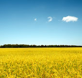 Yellow rye field. Autumn landscape Stock Photo