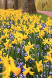 Field of yellow spring flowers Royalty Free Stock Photos