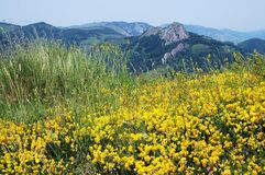 Field of yellow spring flowers Royalty Free Stock Photography