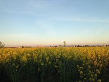 The field. Yellow field, spring in Italy stock photos